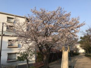 満池谷墓地(西宮市)近くの桜。満開宣言!21.3.26