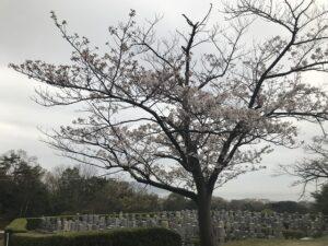 神戸市立舞子墓園(神戸市垂水区)にて雨の納骨式。雨の桜もまた良き。21.3.28