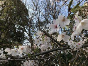 21.3.27_大聖寺さんの納骨堂(神戸市垂水区舞子墓園内)桜が咲いています。