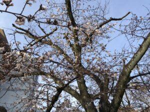 満池谷墓地(西宮市)近くの公園の桜。21.3.20