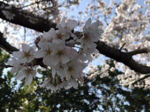 宝塚市営長尾山霊園で桜の花が咲いていました。21.3.26