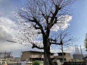 中筋墓地(宝塚市)の保護樹木